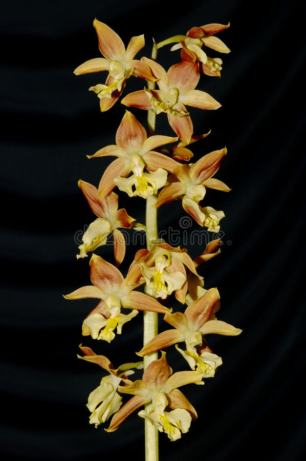 Calanthe bicolor stock images