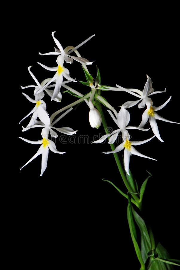 Calanthe leonidii stock photos