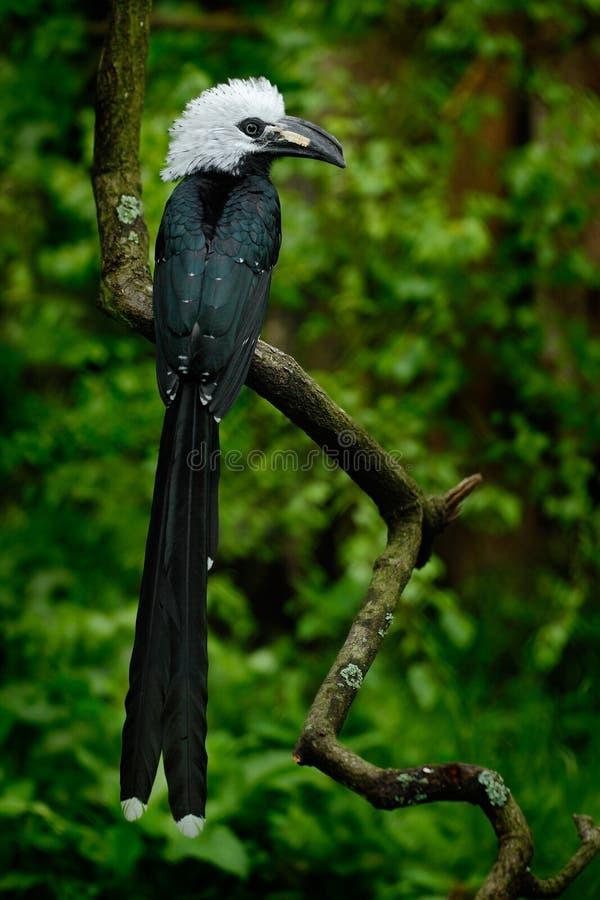 Calao dans l'habitat de nature Calao Long-coupé la queue occidental, albocristatus de Horizocerus, se reposant sur la branche dan photo stock