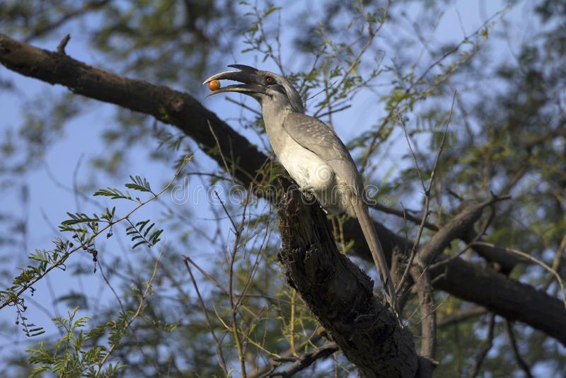 Calao gris indien, birostris d'Ocyceros, parc national de Keoladeo Ghana, Bharatpur, Ràjasthàn, Inde photo libre de droits