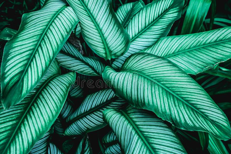 Calathaea picturata, abstract green leaf texture, nature background stock photo