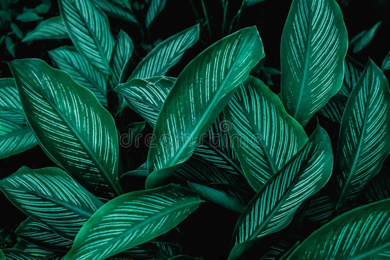 Calathaea picturata, abstract green leaf texture, nature background stock image
