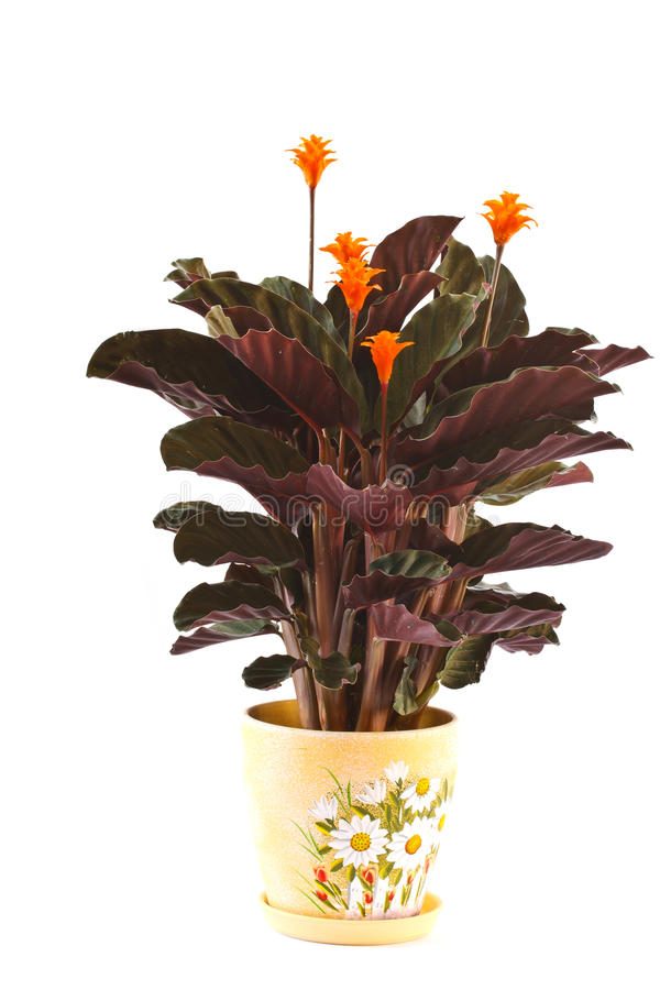 Calathea royalty free stock photos
