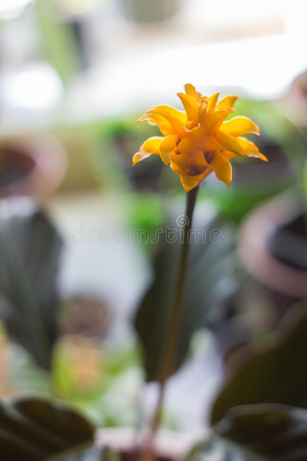 Calathea crocata as home plant. Orange flowers. Calathea crocata as home plant. Cultivated in flower pot royalty free stock images