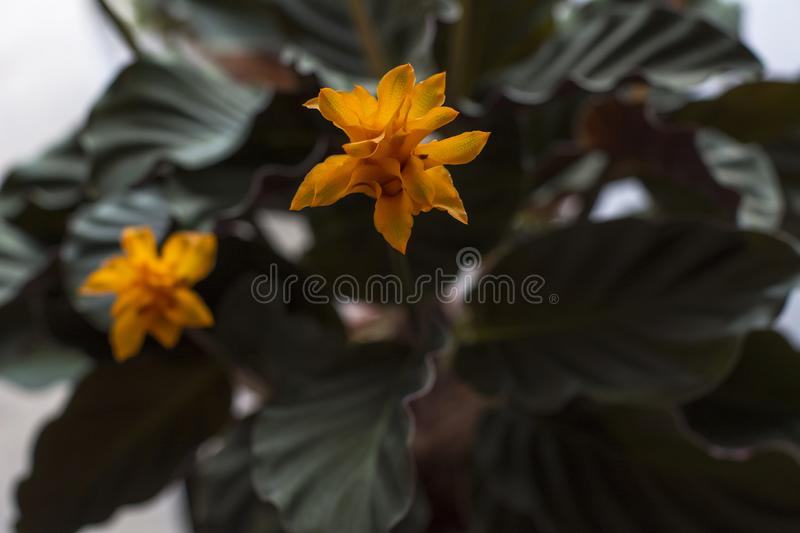 Calathea Crocata in bloom with orange flowers and green leaves. Calathea Crocata in bloom with orange flowers and dark green leaves stock image