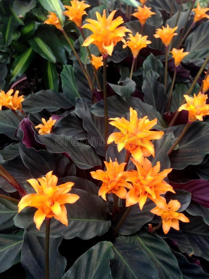 Calathea Crocata Tasmania with dark leaves. Bright orange Calathea Crocata Tasmania flowers also known as Eternal Flame surrounded by dark leaves stock photos