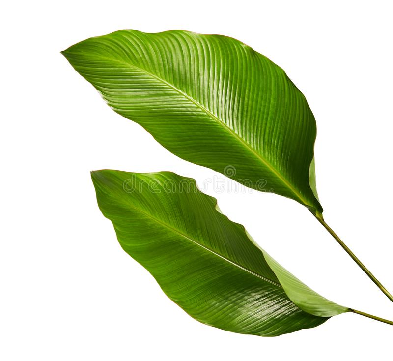 Calathea lövverk, exotiskt tropiskt blad, stort grönt blad som isoleras på vit bakgrund royaltyfria bilder