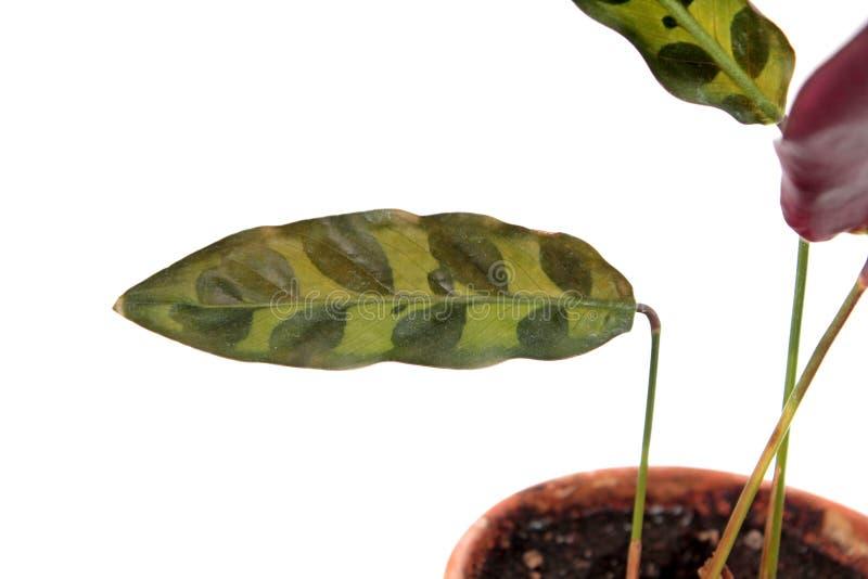 Calathea lancifolia或响尾蛇厂同步符被察觉的叶子  在白色背景隔绝的Calathea insignis 免版税库存图片