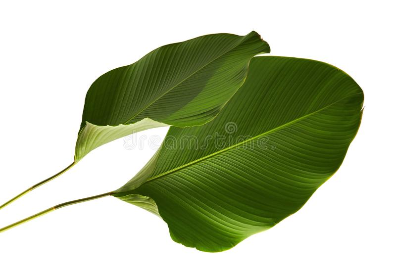 Calathea lutea foliage, Cigar Calathea, Cuban Cigar, Exotic tropical leaf, Calathea leaf, isolated on white background stock image