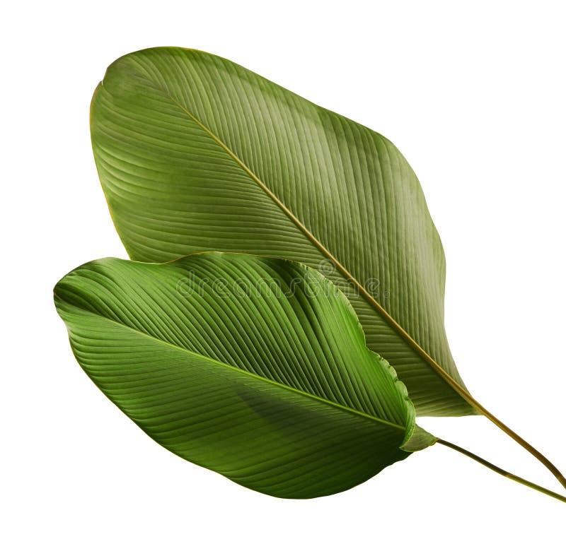 Calathea lutealövverk, cigarr Calathea, kubansk cigarr, exotiskt tropiskt blad, Calathea blad som isoleras på vit bakgrund arkivfoton