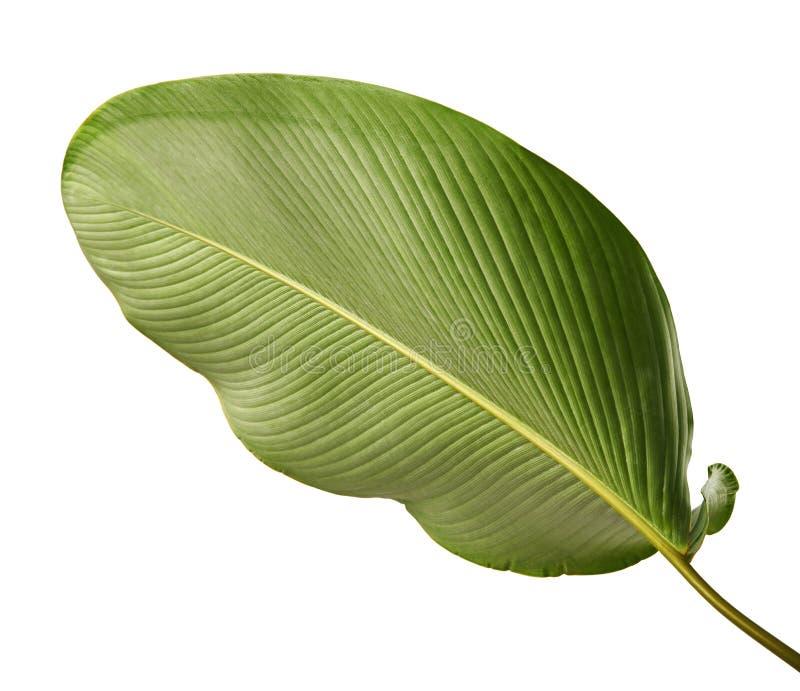 Calathea lutealövverk, cigarr Calathea, kubansk cigarr, exotiskt tropiskt blad, Calathea blad som isoleras på vit bakgrund arkivfoto