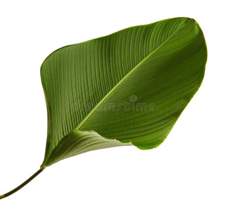 Calathea lutealövverk, cigarr Calathea, kubansk cigarr, exotiskt tropiskt blad, Calathea blad som isoleras på vit bakgrund royaltyfria bilder