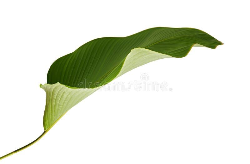Calathea lutealövverk, cigarr Calathea, kubansk cigarr, exotiskt tropiskt blad, Calathea blad som isoleras på vit bakgrund royaltyfri foto