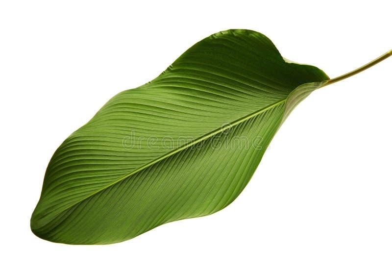 Calathea lutealövverk, cigarr Calathea, kubansk cigarr, exotiskt tropiskt blad, Calathea blad som isoleras på vit bakgrund med ge royaltyfri bild