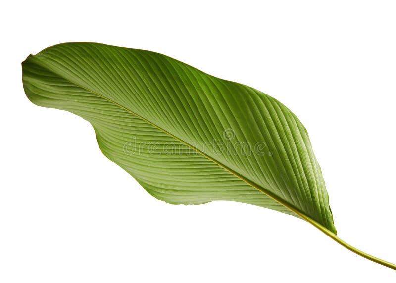 Calathea lutealövverk, cigarr Calathea, kubansk cigarr, exotiskt tropiskt blad, Calathea blad som isoleras på vit bakgrund med ge royaltyfri fotografi