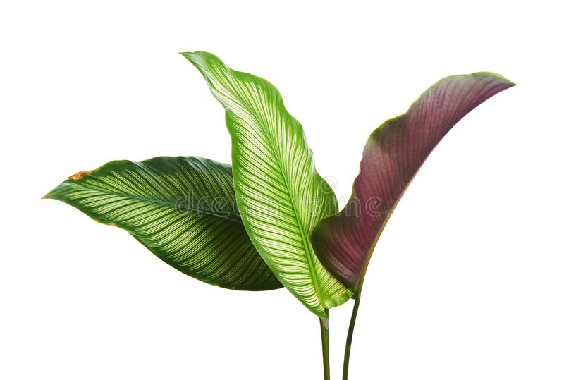Calathea ornata细条纹Calathea在白色背景离开,被隔绝的热带叶子,与裁减路线 免版税库存图片