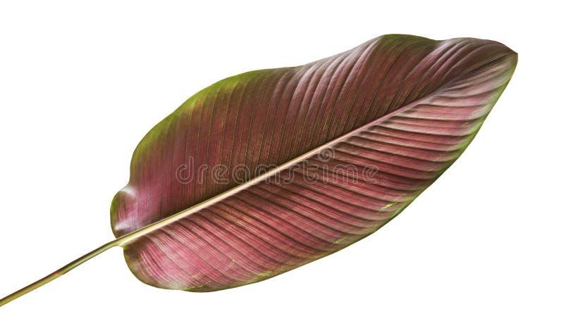 Calathea ornata细条纹Calathea在白色背景离开,被隔绝的热带叶子,与裁减路线 库存图片