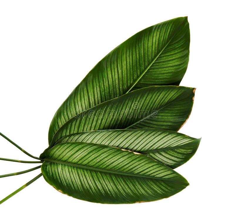 Calathea ornata细条纹Calathea在白色背景离开,被隔绝的热带叶子 图库摄影