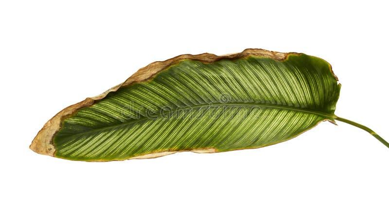 Calathea ornata细条纹Calathea在白色背景离开,被隔绝的热带叶子 库存图片