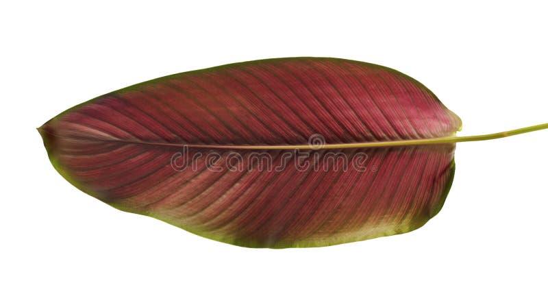 Calathea ornata细条纹Calathea在白色背景离开,被隔绝的热带叶子 库存照片