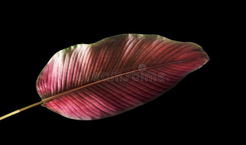 Calathea-ornata Pin-Streifen Calathea verlässt, das tropische Laub, das auf schwarzem Hintergrund lokalisiert wird lizenzfreies stockbild