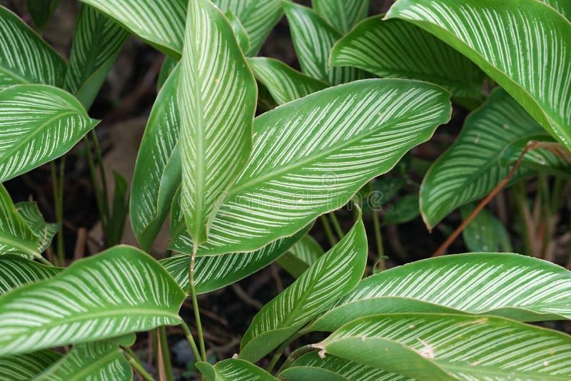 Calathea-ornata Schönes Urlaubmuster von Calathea-ornata, ein tropische Betriebseingeborener nach Südamerika Streifte alias, Stif stockbild