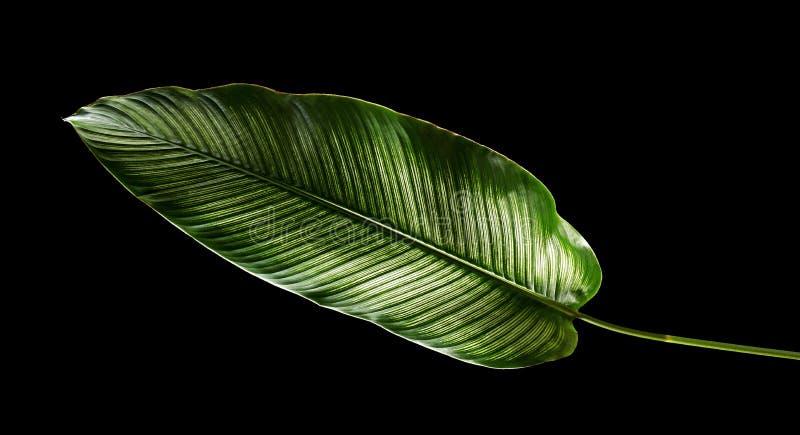 Calathea ornataStift-band Calathea sidor, tropisk lövverk som isoleras på svart bakgrund arkivfoto