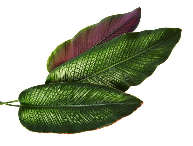 Calathea ornataStift-band Calathea sidor, tropisk lövverk som isoleras på vit bakgrund, med den snabba banan royaltyfri foto