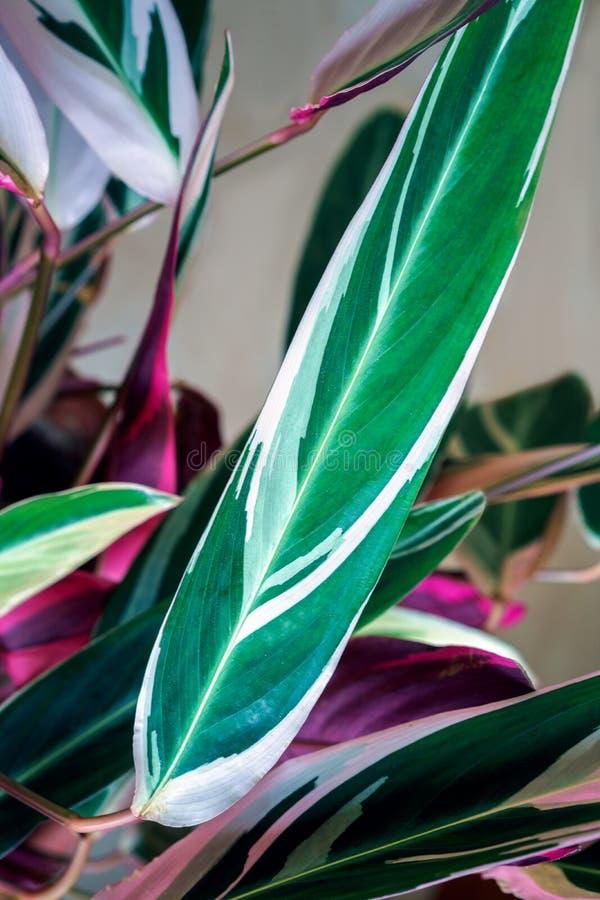 Calathea spricker färgrik gräsplan och lilor ut på kräm- färgbakgrund Calathea ornatakritstreck Calathea, tropisk lövverk royaltyfri foto