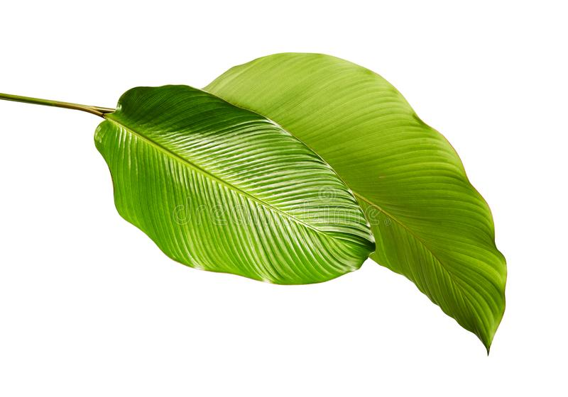 Calathea ulistnienie, Egzotyczny tropikalny liść, ampuła zielenieje liść, odizolowywającego na białym tle z ścinek ścieżką obraz royalty free