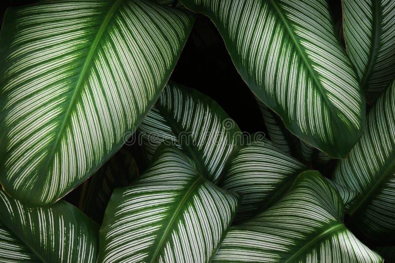 Calathea verlässt in dunkler Tone Color als natürlicher abstrakter Beschaffenheits-Hintergrund lizenzfreies stockbild