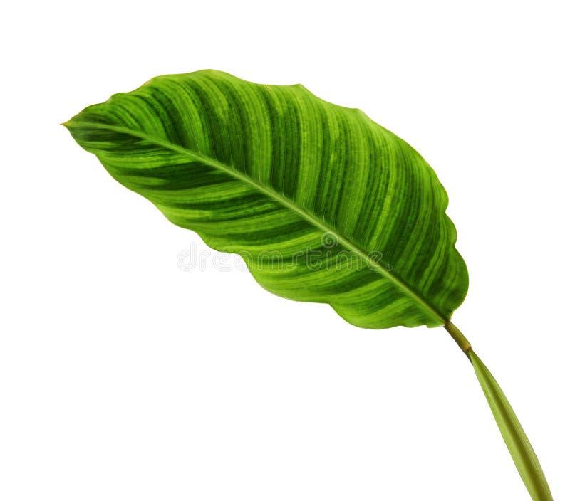 Calathea zebrinalövverk eller sebraväxt, exotiskt tropiskt blad som isoleras på vit bakgrund med den snabba banan royaltyfria bilder