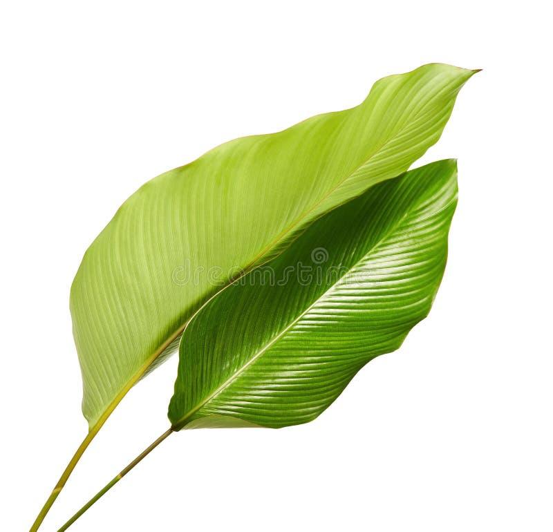 Calatheagebladerte, Exotisch tropisch blad, Groot groen die blad, op witte achtergrond wordt geïsoleerd royalty-vrije stock fotografie