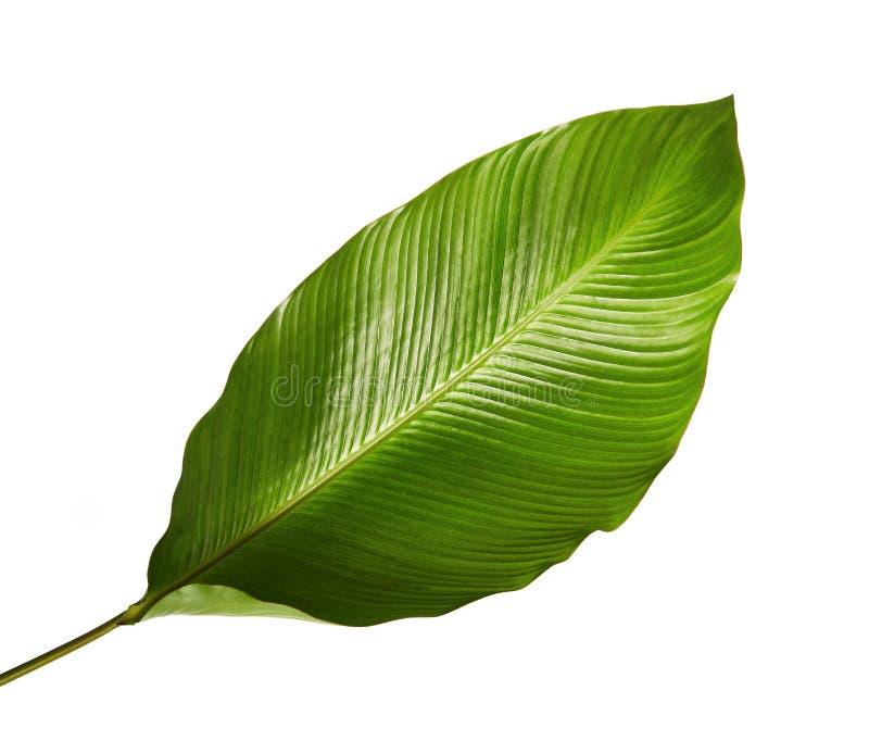Calatheagebladerte, Exotisch tropisch blad, Groot groen die blad, op witte achtergrond wordt geïsoleerd stock fotografie