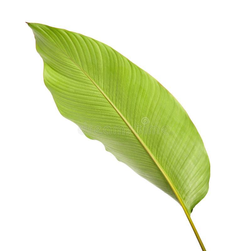 Calatheagebladerte, Exotisch tropisch blad, Groot groen die blad, op witte achtergrond wordt geïsoleerd stock afbeelding