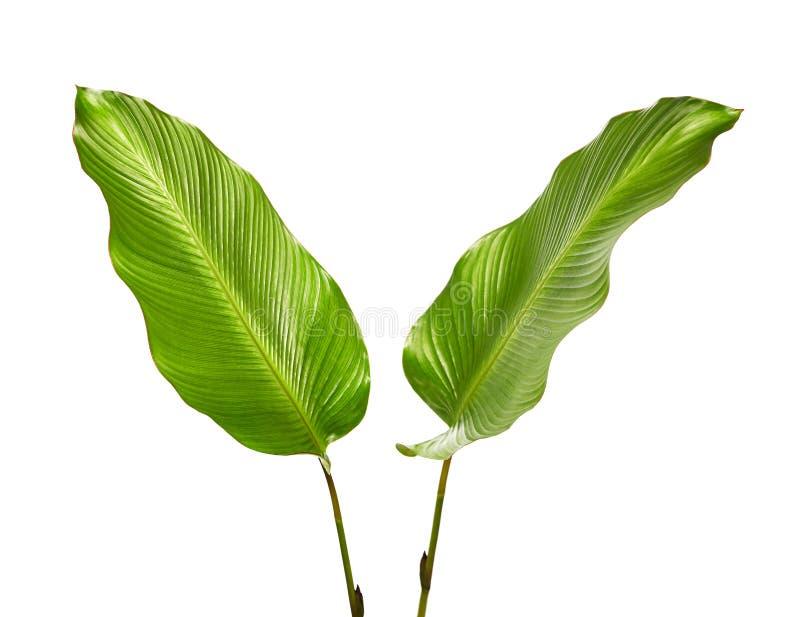 Calatheagebladerte, Exotisch tropisch blad, Groot groen die blad, op witte achtergrond wordt geïsoleerd stock foto's