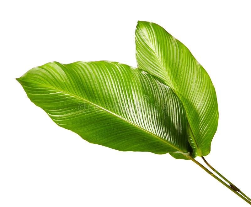 Calatheagebladerte, Exotisch tropisch blad, Groot groen die blad, op witte achtergrond wordt geïsoleerd stock afbeeldingen