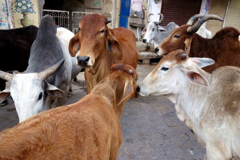 Calca delle mucche sante immagini stock libere da diritti