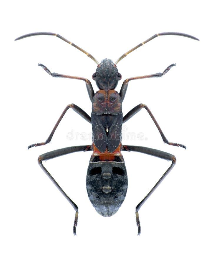 Calcaratus di Alydus dell'insetto immagini stock