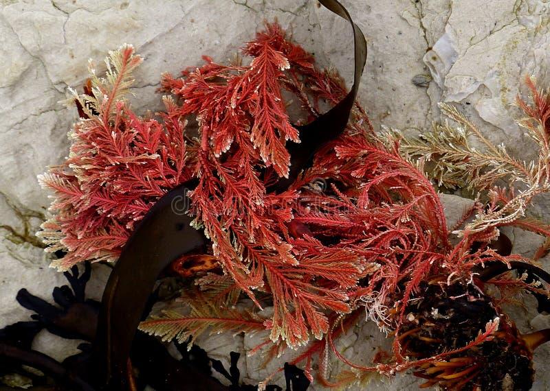 Calcareous Red Seaweed. Fz200 Free Public Domain Cc0 Image