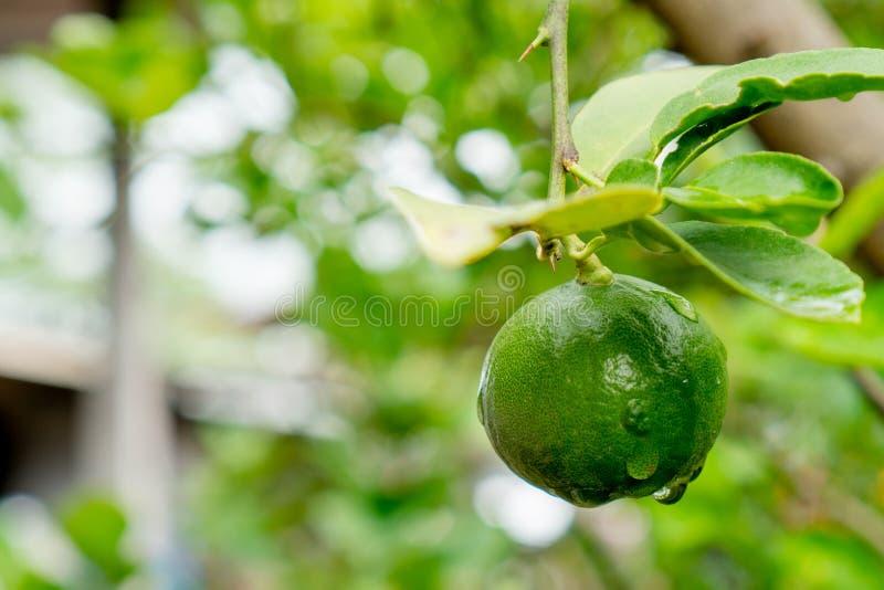 Calce verdi su un albero La calce è gli agrumi ibridi, che sono tipicamente intorno a contenere le vescicole acide del succo Le c fotografia stock libera da diritti