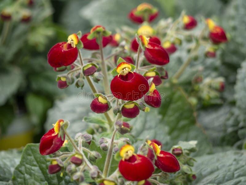 Calceolaria, damy kiesa, pantoflowy kwiat, notesu kieszonkowego kwiat, pantofelnik z kolorem żółtym i pomarańczowi kwiaty dla kra zdjęcia stock
