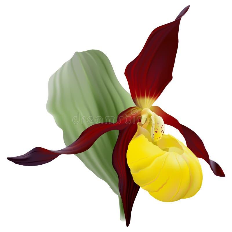 Calceolus Cypripedium или тапочка Lady's желтого цвета, земная одичалая орхидея на белой предпосылке иллюстрация штока