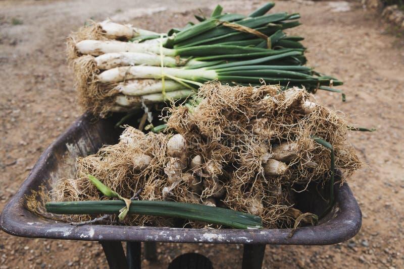 Calcots söta lökar som är typiska av Catalonia, Spanien royaltyfri fotografi