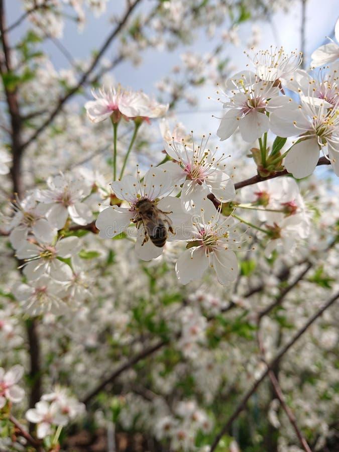 Caldo all'inizio di maggio Sotto Kazan hanno fiorito i giardini I bombi e le api raccolgono disposto il nettare Ramo, fiore fotografia stock