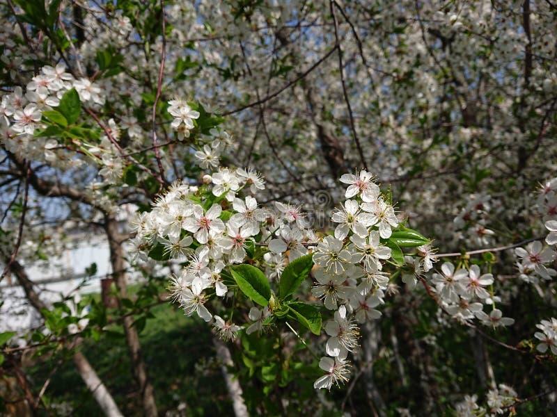 Caldo all'inizio di maggio Sotto Kazan hanno fiorito i giardini I bombi e le api raccolgono disposto il nettare Ramo, fiore fotografia stock libera da diritti