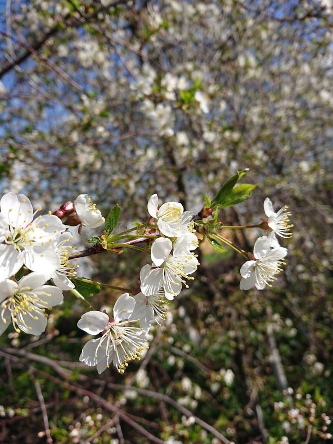 Caldo all'inizio di maggio Sotto Kazan hanno fiorito i giardini I bombi e le api raccolgono disposto il nettare fotografie stock libere da diritti