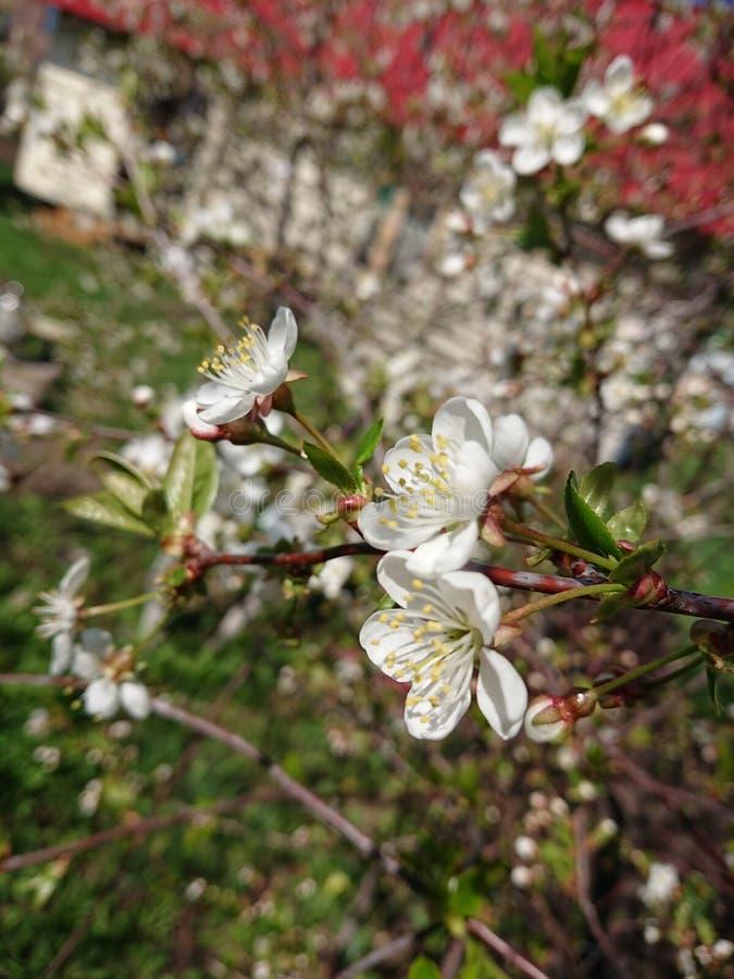 Caldo all'inizio di maggio Sotto Kazan hanno fiorito i giardini I bombi e le api raccolgono disposto il nettare fotografia stock libera da diritti