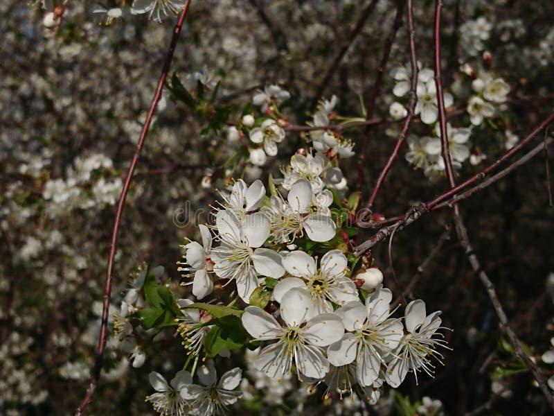 Caldo all'inizio di maggio Sotto Kazan hanno fiorito i giardini I bombi e le api raccolgono disposto il nettare immagine stock