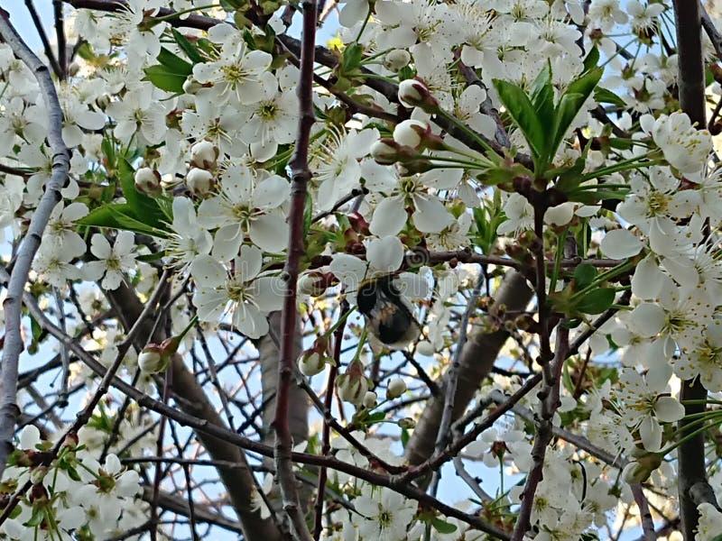 Caldo all'inizio di maggio Sotto Kazan hanno fiorito i giardini I bombi e le api raccolgono disposto il nettare immagini stock libere da diritti